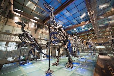 Les Iguanodons de Bernisssart © Muséum des Sciences naturelles, Th. Hubin